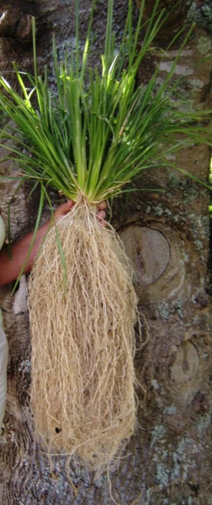 Vetiver pianta ingegnere